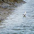Oiseaux ile de re mouette foto Mo2 (19)-h1500