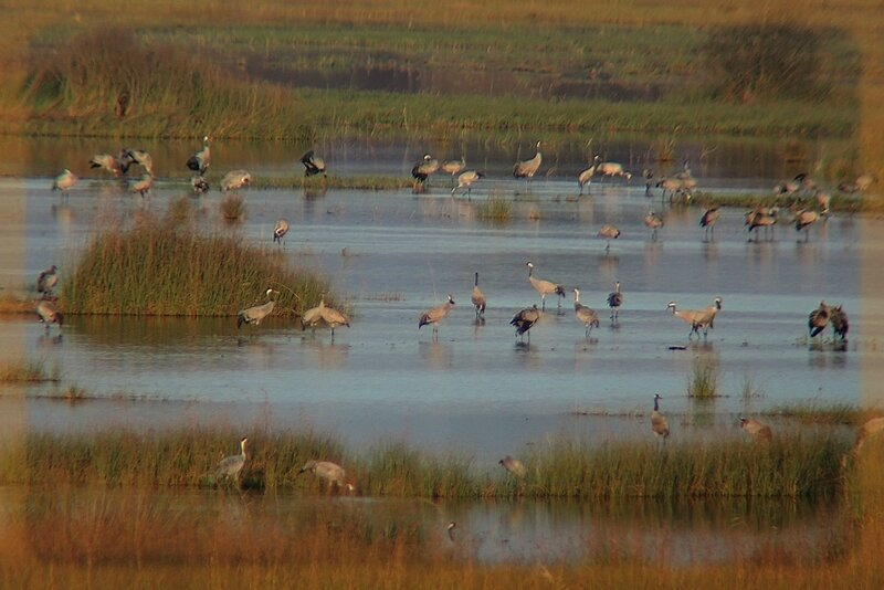 grues cendrées sur le marais de l'étang de Cousseau