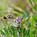 Sphinx bourdon - Hemaris tityus (4)
