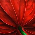 Les roses de noël de manuela, 22e inscrite