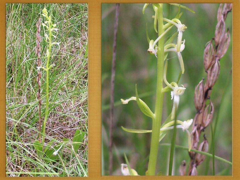 dernières orchidées
