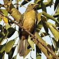 Saltator olive (saltator similis)