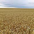 La moisson de blé