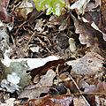 Russula cyanoxantha f