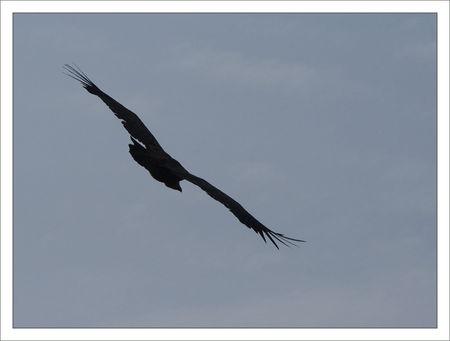 Guara_Lecina_vautour_sombre_dos_100709