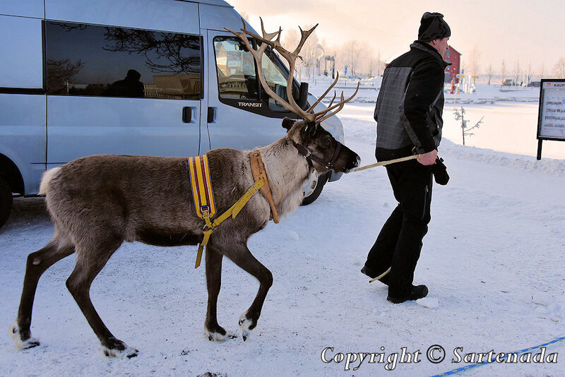 reindeer_rides_for_families_oulu_-32