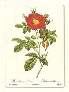Planche botanique Rose Damascena Coccinea