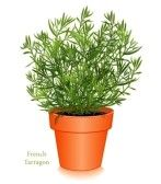 12797400_french_tarragon_herb_plant