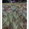 Thaïlande, champs d'ananas