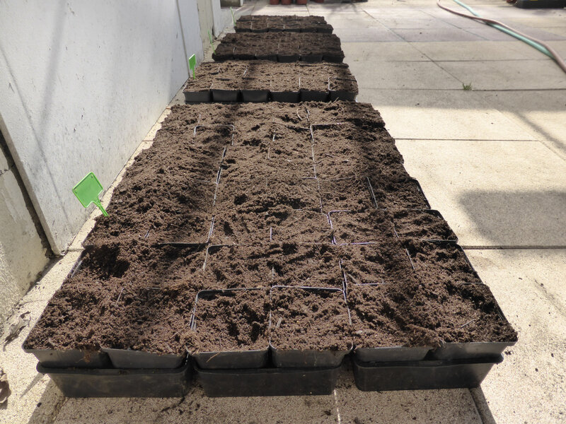 6-haricots, semis haricots (1)