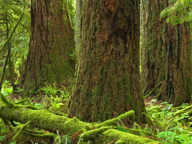 pic_wonder_cathedral_grove_lg