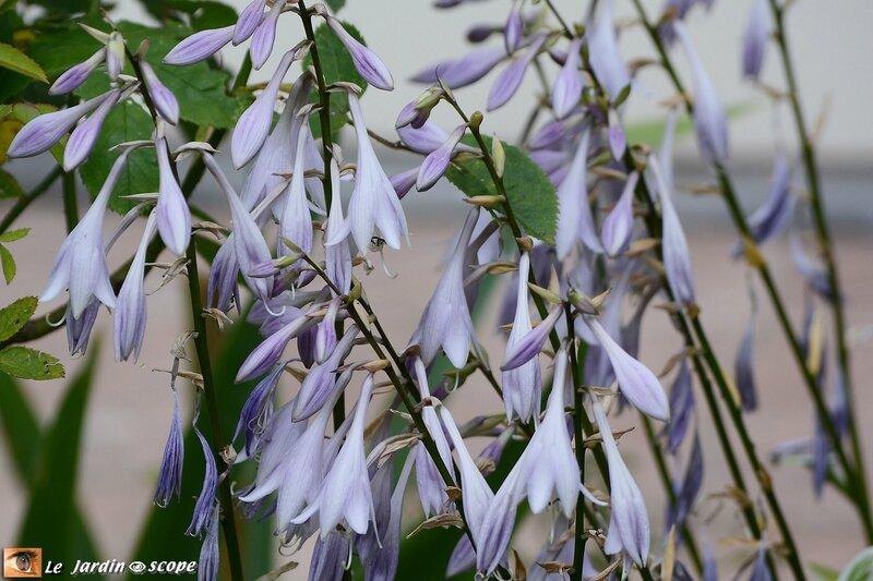 PAT_0805-Fleurs-d'Hostas