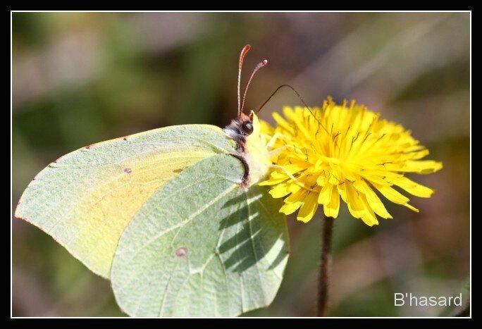 papillon jaune cadre