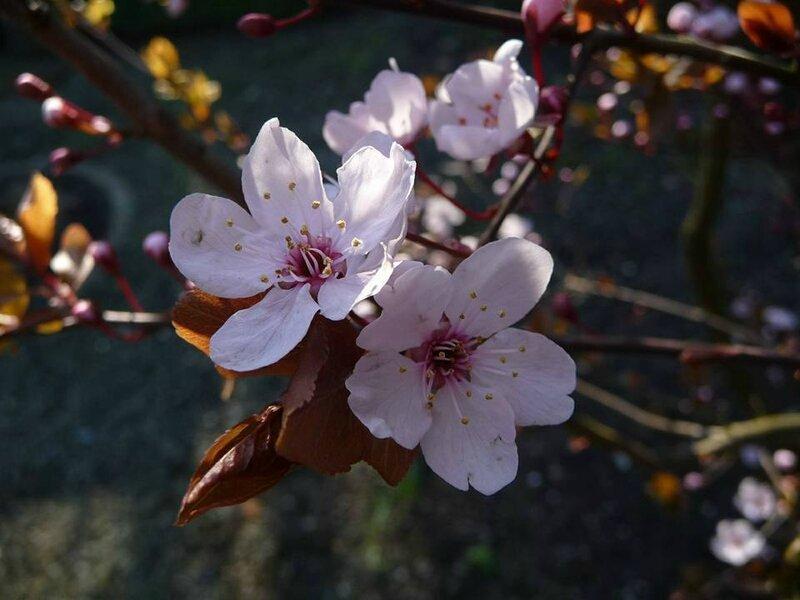 fleurs de prunus d'Abby