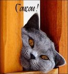 coucou__chat_chartreux_
