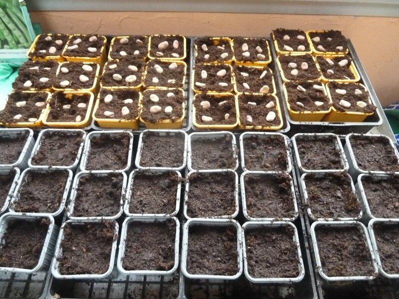 11-semis petits pois et fèves (1)