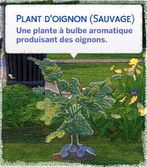 Oignon sauvage