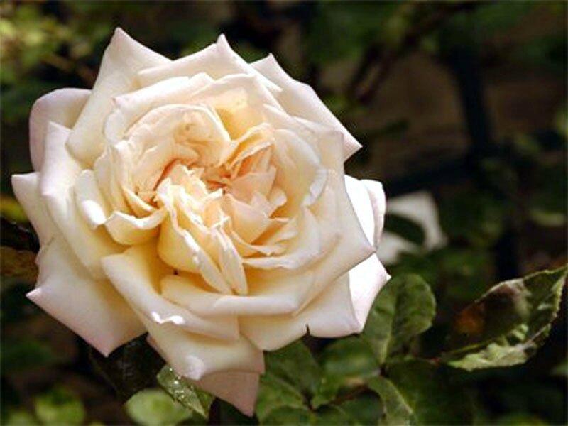 roses_lyonnaises-Mme_Falcot