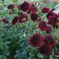 2009 08 14 Fleurs de dahlias