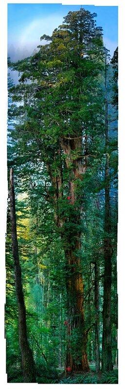 plus-grand-arbre-au-monde