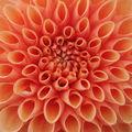 2008 09 16 Un zoom sur une fleur de dahlias orange pompon