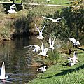 Les colombes du bassin.