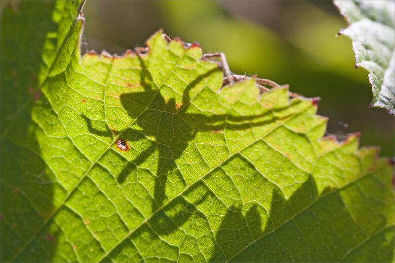ville araign ombre feuille 250918