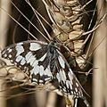 Un papillon en juillet 2011