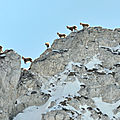 Parcours d'arête, sur le fil les capra ibex.