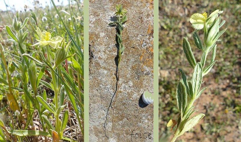 tiges épaisses rigides feuilles opposées oblongues fortement nervurées