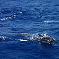 Dauphins ! dauphins !