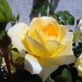 Roses, de toutes les couleurs...