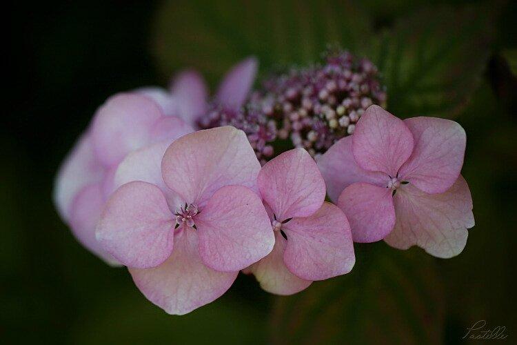 Hydrangea rose_12 07 07_2905