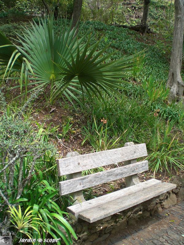 Palmier Howea derrière un banc en bois