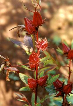 Hibiscus Sabdariffa, la fleur pour bissap