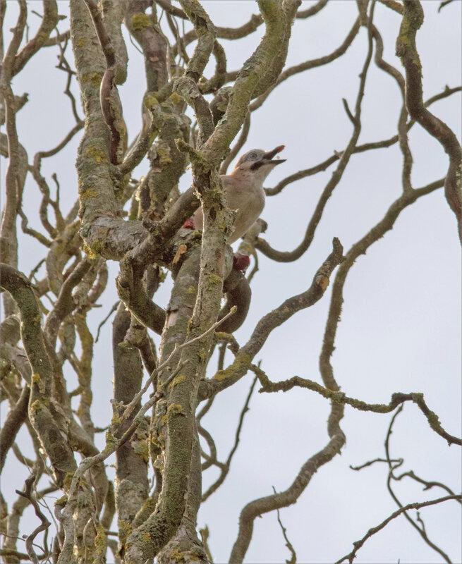 Oiseau geai prune 11 070819