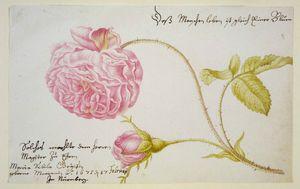 Maria_Sibylla_Merian_Stammbuchblatt_mit_Rose_1675