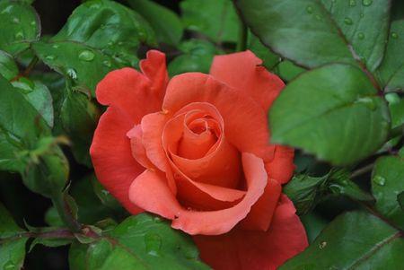 roses de mon jardin juin 2012 (20)