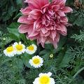 2008 09 16 Une énorme fleur de dahlias et un variété de chrysanthème devant me semble t'il