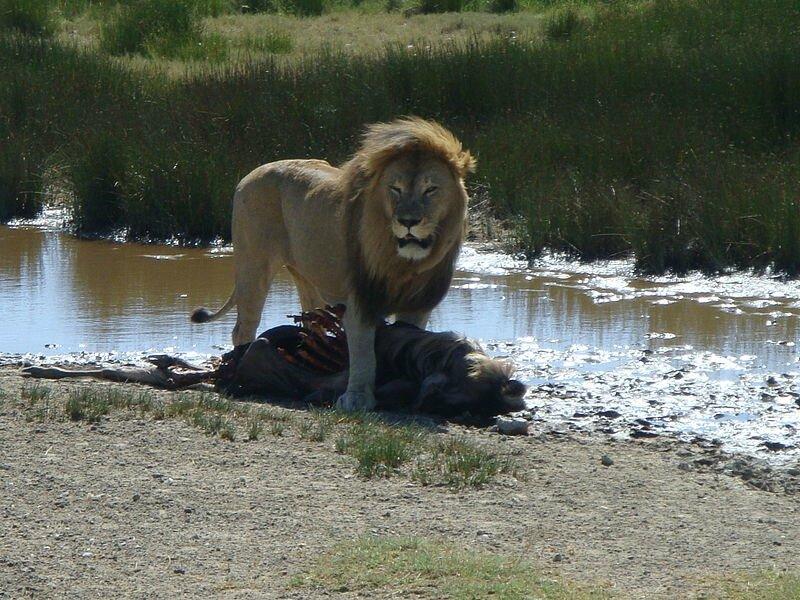 LION DANS LE SERENGETI
