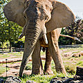 elephant beauval2