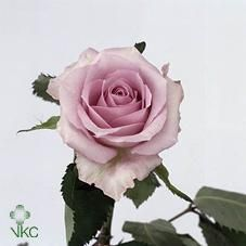 rose_parme
