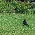 Corbeau freux • Corvus frugilegus • Corvidae