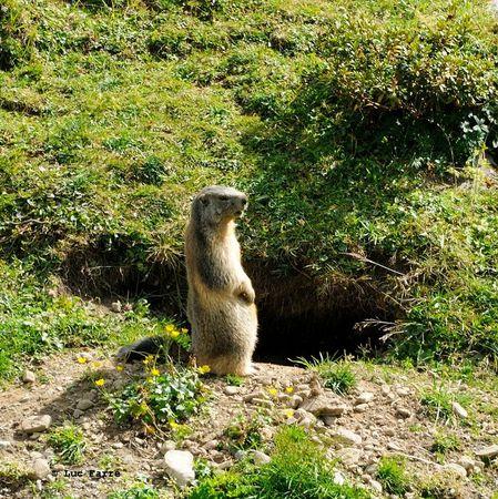 Marmotte Glière -004