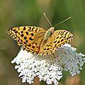 Fabriciana adippe<<nymphalidae