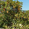 Arbre d'oranges amères • Citrus aurantium • Famille des Rutaceae