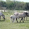 chevaux des polders
