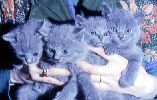 Chatons_Chartreux