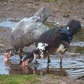 2009 10 08 Les canards après la pluie (5)