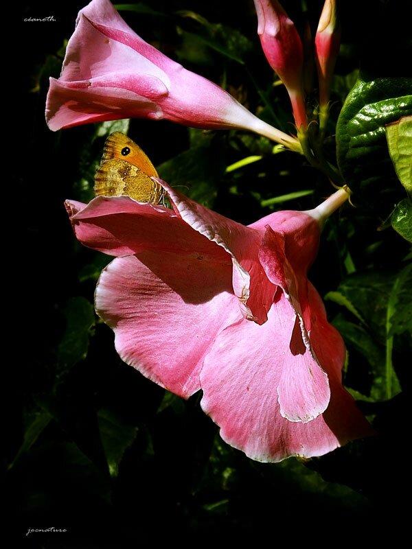 140805-fleur-papillon-w